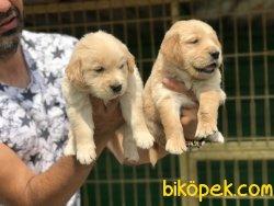 Golden Yavrularimiz