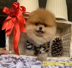 Gülen Surat Boo Pomeranian Yavrular 2