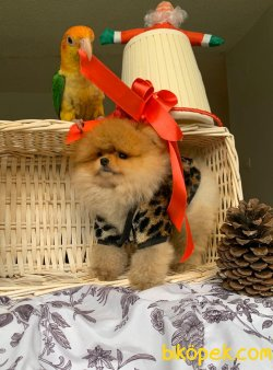 Gülen Surat Boo Pomeranian Yavrular 1