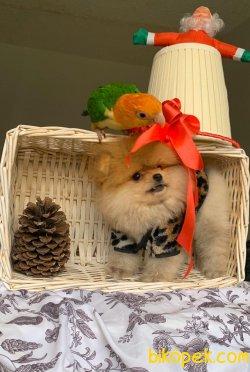 Gülen Surat Boo Pomeranian Yavrular 3
