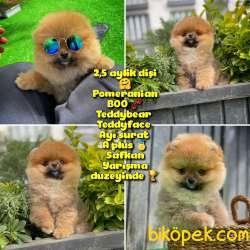 Güzel Ötesi Safkan Ayı Surat Teddybear Boo Pomeranian Kızımız Wi