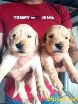 Güzel Yüzlü Golden Retriever Yavrular