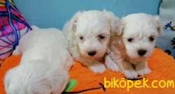 Güzel Yüzlü Maltese Terrier Yavrular