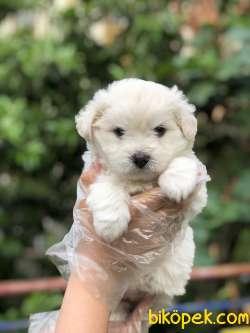 Güzeller Güzeli Maltese Terrier Yavrumuz Sağlık Ve Irk Garantili 5