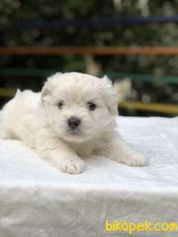 Güzeller Güzeli Maltese Terrier Yavrumuz Sağlık Ve Irk Garantili