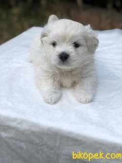 Güzeller Güzeli Maltese Terrier Yavrumuz Sağlık Ve Irk Garantili 4