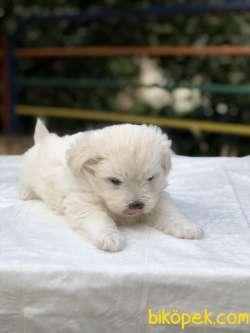 Güzeller Güzeli Maltese Terrier Yavrumuz Sağlık Ve Irk Garantili 3