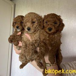 Her Renk Poodle Bebeklerimiz Orjinal Tea Cup Ve Toy