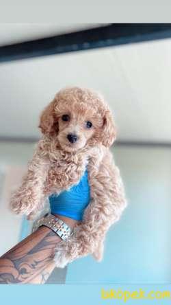 Her Renk Toy Poodle Bebekler