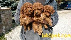 Her Renk Toy Poodle Bebeklerimiz