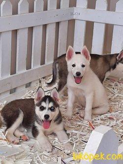 Husky (sibirya Kurdu) Yavruları 4