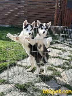 Husky (sibirya Kurdu) Yavruları