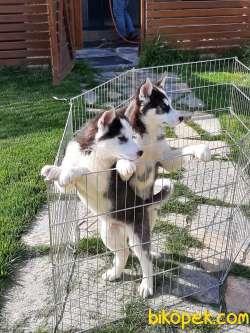 Husky (sibirya Kurdu) Yavruları (EVE TESLİM)