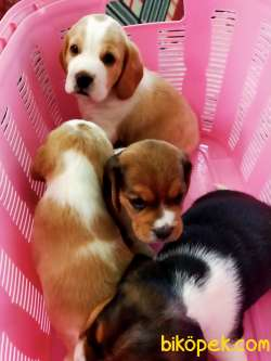 İki Ve Üç Renk Harika Beagle Yavrularımız 5