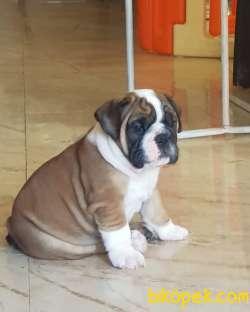 İngiliz Bulldog Yavrular