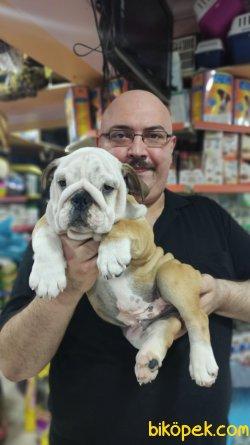 İngiliz Bulldog Yavruları Üst Segment Irkı Bilenler Takdir Edecek