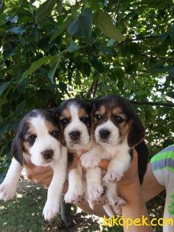 Irk Garantili Beagle  Yavrularımız