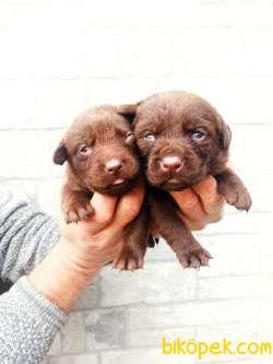 Irk Garantili Çikolata Renk Labrador Yavrular