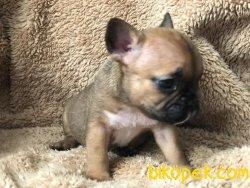 Irk Garantili Harika French Bulldog Yavrularımız 4