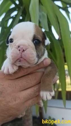 Irk Garantili İngiliz Bulldog Yavrular 1