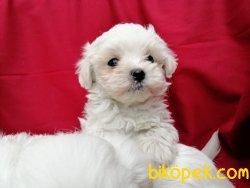 Irk Garantili Maltese Terrier Yavruları