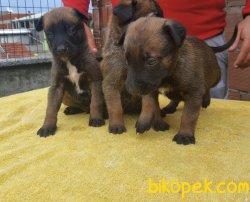 Irk Garantili Muhteşem Belçika Malinois Yavrularımız 3