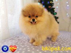 Irk Standartlarında Boo Pomeranian Ayı Surat