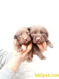 Irk Ve Sağlık Garantili Çikolata Rengi Labrador Yavrular