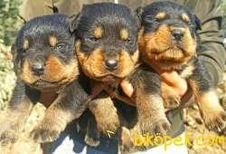 Irk Ve Sağlık Garantili Dişi Rottweiler Yavrular 2