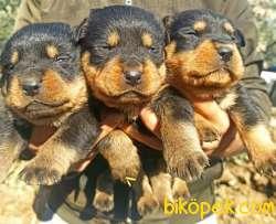 Irk Ve Sağlık Garantili Dişi Rottweiler Yavrular