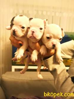 Full Beyaz Irk Garantili Fransız Bulldog Yavrular 2