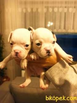 Full Beyaz Irk Garantili Fransız Bulldog Yavrular 3