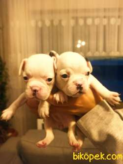 Full Beyaz Irk Garantili Fransız Bulldog Yavrular 4
