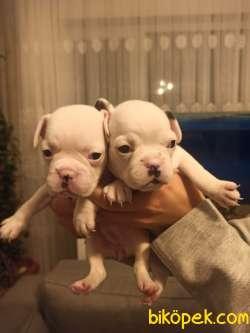 Full Beyaz Irk Garantili Fransız Bulldog Yavrular