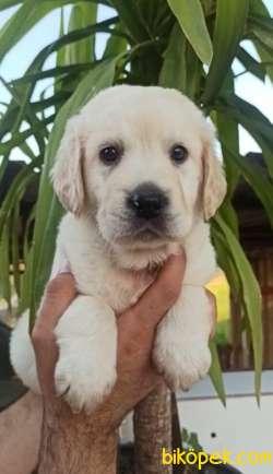 Irk Ve Sağlık Garantili Labrador Yavrular