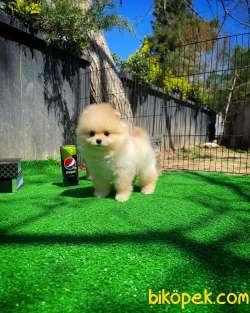 Irk Ve Sağlık Garantili Pomeranian Boo Yavrularımız 1