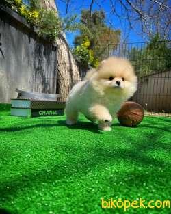 Irk Ve Sağlık Garantili Pomeranian Boo Yavrularımız 3