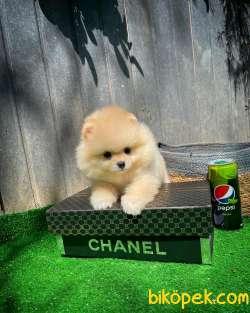 Irk Ve Sağlık Garantili Pomeranian Boo Yavrularımız 4