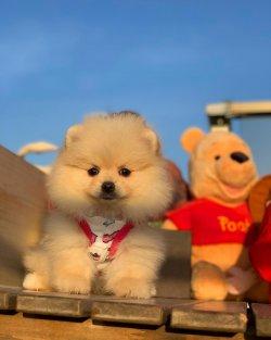 Irk Ve Sağlık Garantili Pomeranian Yavrularımız