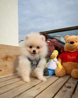 Irk Ve Sağlık Garantili PomeranianBoo Yavrularımızdan