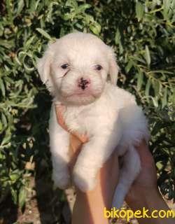 Irk Ve Sağlık Garantili Terrier Yavrular