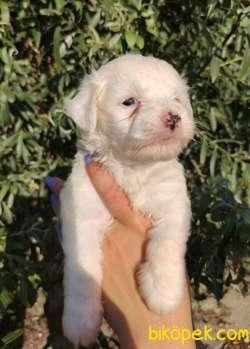 Irk Ve Sağlık Garantili Terrier Yavrular 2