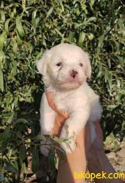 Irk Ve Sağlık Garantili Terrier Yavrular 3