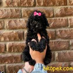 Irk Ve Sağlık Garantili Toy Poodle Yavrular 4