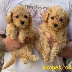 Irk Ve Sağlık Garantili Toy Poodle Yavrular 1