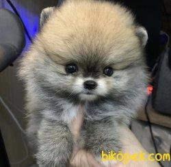 Irkının En Gizel Boo Pomeranian Yavruları