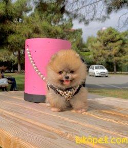 Irkının En Güzel Boo Pomeranian Yavruları