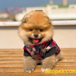 Irkının En Güzeli Gülen Surat Pomeranian Yavrularımız