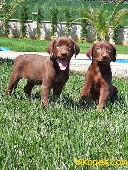 Kalite Ve Güvenin Tek Adresinden Labrador  Yavrulari
