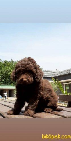 Kalite Ve Güvenin Tek Adresinden Tcup Toy Poodle Yavruları